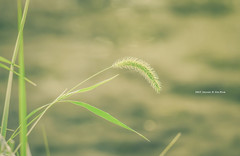 foxtail grass (gwnam.2008) Tags: flower floral blossom bloom nature naturalbeauty colorful