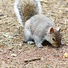 90417F4F-D3B7-4EAD-A015-E7FC5FBD77E4 (Hawkins1977) Tags: squirrel nature wildlife wildlifephotography wildnature canon spring april