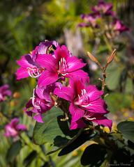 Honk King Orchid tree - Bauhinia × blakeana (N3ptun0) Tags: angiospermae angiosperms bauhinia bauhinia×blakeana botanicalgarden fabaceae fabales flower floweringplant hongkongorchidtree magnoliophyta naplesbotanicalgarden nature park plant plantae rosids bloom