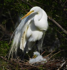 Great Egret family at their next. (Ruby 2417) Tags: egret white bird wildlife nature mother chick nest family