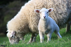 A young lamb enjoying the grass in New Zealand (Valentin.LFW) Tags: newzealand nouvellezeland south hemisphere photographer photography canon aotearoa birds wildlife landscape auckland