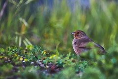 In the grass (jamestapatio) Tags: towhee