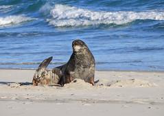 New Zealand fur seal (Valentin.LFW) Tags: newzealand nouvellezeland south hemisphere photographer photography canon aotearoa birds wildlife landscape auckland
