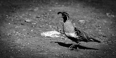 02469376422367-111-19-04-Gambel's Quail in the Mojave Desert-22-Black and white (You have failed me for the last time Jim) Tags: yellow gambels america animal bird desert gambel'squail mojave nature nevada southwest statepark usa valleyoffire wildlife blackandwhite monochrome