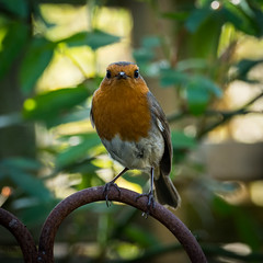 'The Watcher' (davepickettphotographer) Tags: watching outdoors wild bird robin spring wildlife nature natural history huntingdonshire cambridgeshire