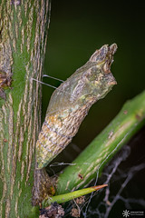 Dainty swallowtail (Dreamtime Nature Photography) Tags: daintyswallowtail papilioanactus lepidoptera butterfly color macro wildlife arthropoda papillon canon dreamtimenaturephotography nature newsouthwales bluemountainnationalpark nsw australia agnesbanks