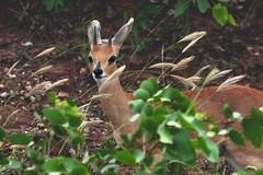 Steenbok dans le Kruger (Nat_L2_photographies) Tags: kruger krugerpark afriquedusud southafrica steenbok antilope