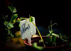 In My Garden (Missy Jussy) Tags: inmygarden mygarden gardening gardeningprojects britishsummertime peas vegetables homegrown sunlight sunshine edible food ef100mmf28macrousm canoneos5dmarkii canon outdoor outside england northwest
