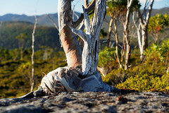 20190419-65-Gum tree growing out of rock (Roger T Wong) Tags: 2019 australia cradlemountainlakestclairnationalpark glouldplateau lakestclair np nationalpark rogertwong sel24105g sony24105 sonya7iii sonyalpha7iii sonyfe24105mmf4goss sonyilce7m3 tasmania bark bushwalk hike outdoors snowgum tramp tree trek trunk walk