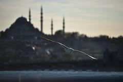 Behind the wings (vabserk) Tags: seagull suleymania mosque istanbul vabserk golden horn bosphorus