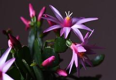 DSC_3165 Schlumbergera x buckleyi - Easter Cactus (PeaTJay) Tags: nikond750 sigma reading lowerearley berkshire macro micro closeups gardens indoors nature flora fauna plants flowers schlumbergera