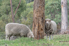Sheep in Rural Paddock (Merrillie) Tags: sheep australia rural newsouthwales animal paddock countryside country thehillsshire ewe woolly southmaroota countrylife outdoors farm fauna sydney woolen twoofakind
