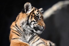 Tiger 01 (Sebastian Ukas) Tags: 150600mm berlin nikon sigma tiere tierpark tiger z6