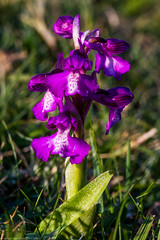 Green-winged Orchid (Anacamptis morio) (BiteYourBum.Com Photography) Tags: dawnandjim dawnjim biteyourbum biteyourbumcom copyright©2019biteyourbumcom copyright©biteyourbumcom allrightsreserved uk unitedkingdom gb greatbritain england canoneos7d canonefs60mmf28macrousm apple imac5k lightroom6 ipadair appleipadair camranger manfrotto055cxpro3tripod manfrotto804rc2pantilthead loweproprorunner350aw sussex westsussex southdowns southdownsnationalpark botolphs shorehambysea shoreham anchorbottom greenwinged orchid anacamptis morio greenwingedorchid anacamptismorio