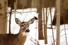 Missing Crown (Goromo) Tags: whitetaileddeer deer buck winter woods trees redtwigdogwood snow february