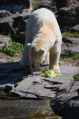 Eisbär 04 (Sebastian Ukas) Tags: 150600mm berlin nikon sigma tiere tierpark z6 eisbär