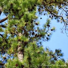 922398A3-AA89-4E50-A607-11213D623B68 (Hawkins1977) Tags: tree pines nature natureza april 2019 photography