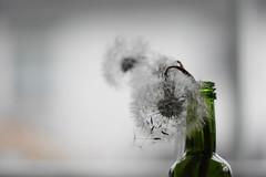 Memories... (beatawozniak1968) Tags: stilllife art dandelion creative inspiration details photography macro closeup