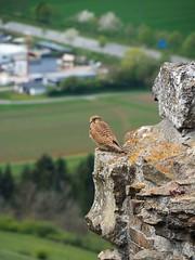 Falcon on Hohentwiel (fynnnikolaus) Tags: deutschland singen festung ruine vulkan felsen höhenburgen württemberg exklave staatsgefängnis wilhelmswacht olympus omd