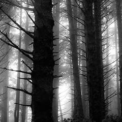 Forest In Fog 012 (noahbw) Tags: d5000 ecolastatepark nikon oregon pnw pacificnorthwest abstract blackwhite blackandwhite branches bw dark darkness dreamlike dreamy fog foggy forest landscape light lowlight mist misty monochrome natural noahbw quiet silhouette spring square still stillness treetrunk trees woods