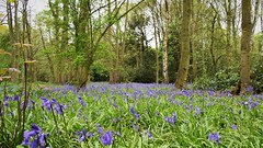Spring Is Here (doranstacey) Tags: nature landscapes woodland forest spring springwatch trees bluebells flowers beautiful nikon d5300 nikkor 1855mm
