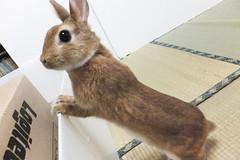 Ichigo san 1540 (Errai 21) Tags: いちごさん ichigo san  ichigo rabbit bunny cute netherlanddwarf pet うさぎ ウサギ いちご ネザーランドドワーフ ペット 小動物 1540