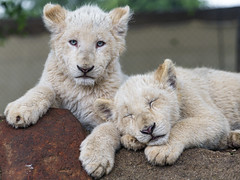 Two cute white cubs (Tambako the Jaguar) Tags: lion big wild cat white two together cub young baby cute sleeping looking lying resting posing stone rock close portrait lionsafaripark johannesburg southafrica nikon d850