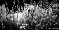 Low Light (Nic Stoetman) Tags: sony sonya7ii a7ii reeds riet sunlight reflection water leusden utrecht netherlands nederland