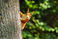 Immer diese Fotografen (J.Weyerhäuser) Tags: ast baum eichhörnchen beobachten schauen apsc 6500 stadtpark rosengarten tier animal