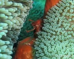 25-IMG_8790 (adrienweckel) Tags: adrienweckel crabeporcelaineagréable crustacés petrolisthesamoenus