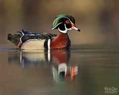 IMG_9390nxr (4President) Tags: wood duck aix sponsa minnesota