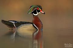 IMG_9058nxr (4President) Tags: wood duck aix sponsa minnesota