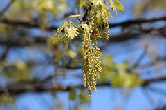 Anglų lietuvių žodynas. Žodis quercus shumardii reiškia <li>Quercus shumardii</li> lietuviškai.