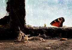 There is no Life (uhx72) Tags: lostplaces königshütte stilllife butterfly skeleton badlauterberg