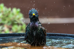 what you lookin at? (sean4646) Tags: birdbath starlings garden d7100 nikon