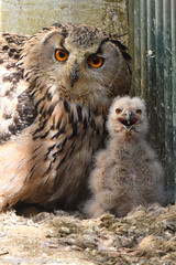 Siberian eagle owls - Olmense Zoo (Mandenno photography) Tags: animal animals dierenpark dierentuin dieren olmense olmensezoo olmen belgie belgium bird birds siberian eagle eagleowl owl owls ngc nature natgeo natgeographic balen zoo