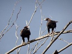 Wedge-Tailed Eagles (RJNumbat) Tags: wedgetailed eagles