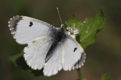 """""""Anthocharis cardamines"""" - oranjetipje ( female ) (bugman11) Tags: anthochariscardamines canon 100mm28lmacro butterfly butterflies bug bugs macro insect insects vlinder oranjetipje white animal animals fauna flower flora flowers bokeh nederland thenetherlands nature bloemendaal middenduin 1001nightsthenew 1001nightsthenewmagiccity"""
