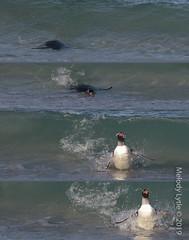 Gentoo Penguin (karenmelody) Tags: animal animals bird birds bleakerisland falklandislands gentoopenguin pygoscelispapua spheniscidae sphenisciformes vertebrate vertebrates