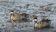 Silver Teal (karenmelody) Tags: anatidae animal animals anseriformes bird birds duck ducks silverteal spatulaversicolor vertebrate vertebrates