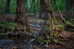 Im Oberwald am Mühlbach (nordelch61) Tags: deutschland hessen darmstadt staatsforst oberwald moos wurzeln bäume forest trees roots bach