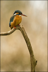 Kingfisher (Craig 2112) Tags: kingfisher female alcedoatthis bird wild lincolnshire