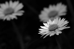 The Black and White trio (padge83) Tags: d5300 nikon blackwhite macro bokeh daisy trio
