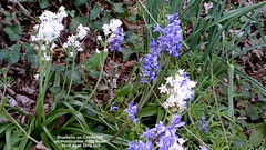 Bluebells on Castle Hill on Huntingdon Ring Road 22nd April 2019 005 (D@viD_2.011) Tags: bluebells castle hill huntingdon ring road 22nd april 2019