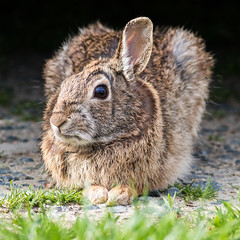 Rabbit (Bob Gilley) Tags: rabbit maryland