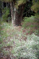 IMG_1468 (Pigeon Travels) Tags: 2019 arboretum california flowers garden nature santacruz trees ucsantacruzarboretum