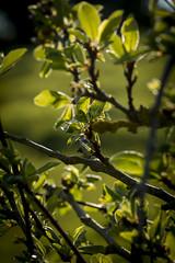 Spring (Crisp-13) Tags: spring leaves fruit tree