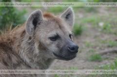 Alert (ficktionphotography) Tags: hyena spottedhyena bronxzoo canines wildanimal wildanimalphotography zoophotography