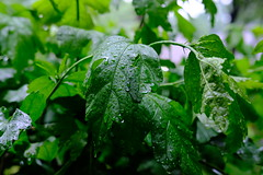 Rain 03 04.23.19 (Gene Ellison) Tags: plant althea green spring rain water drops garden fujifilm velvia sooc