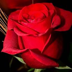Feliç Sant Jordi 2019 #santjordi #santjordi2019 #rose #flowers #roses #flower #barcelona #flowerstagram #santjordidc #love #flower_daily #rosegold #nature #santjordigrafias #rosen #flower_igers #catalunya #rosewood #flowerpower #rosemary #flowersofinstagr (vistainfinity) Tags: feliç sant jordi 2019 santjordi santjordi2019 rose flowers roses flower barcelona flowerstagram santjordidc love flowerdaily rosegold nature santjordigrafias rosen flowerigers catalunya rosewood flowerpower rosemary flowersofinstagram descobreixcatalunya rosette flowermagic santjordiclikcat rosebud flowerspecial
